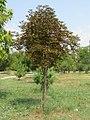 Aesculus hippocastanum - divlji kesten 2.jpg