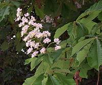 Aesculus hippocastanum RJB2