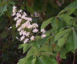Aesculus Hippocastanum Wikispecies