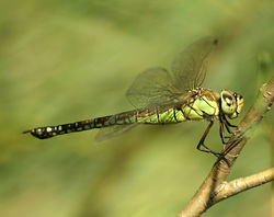 Aeshna-affinis-female-side-www.jpg