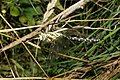 Aeshna cyanea with prey.JPG