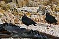 African Black Oystercatchers (Haematopus moquini) (32900433615).jpg