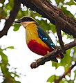 African Pitta (Pitta angolensis), Hwange National Park, Zimbabwe.jpg