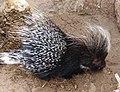 African crested Porcupine -Hystrix cristata-.jpg