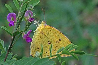 Catopsilia florella - female Aburi Botanical Gardens, Ghana