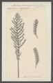 Aglaophenia cypressina - - Print - Iconographia Zoologica - Special Collections University of Amsterdam - UBAINV0274 111 05 0031.tif