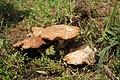 Agrocybe aegerita gljiva (3).jpg