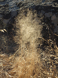 Agrostis truncatula 20110817 1.jpg