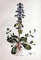 Ajuga reptans — Flora Batava — Volume v1.jpg