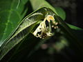 Alangium villosum flowers close upIII.jpg