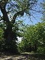Albero secolare presso la Traccia di San Francesco - panoramio.jpg