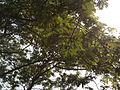 Albizia saman (Raintree) (16).jpg