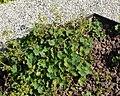 Alchemilla acutiloba plant (03).jpg