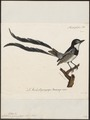 Alectrurus guirayetapa - 1825-1834 - Print - Iconographia Zoologica - Special Collections University of Amsterdam - UBA01 IZ16500235.tif