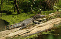 Alligator (5919858385).jpg
