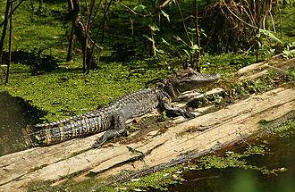 Yazoo National Wildlife Refuge - Young alligator sunning on a log in Yazoo National Wildlife Refuge
