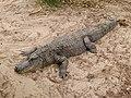 Alligator mississippiensis - Oasis Park - 06.jpg