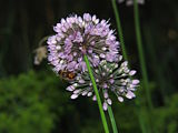 Allium-senescens-and-bee-0a.jpg
