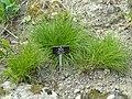 Allium cyaneum - Botanischer Garten Freiburg - DSC06432.jpg