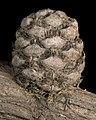 Allocasuarina ramosissima - Flickr - Kevin Thiele.jpg