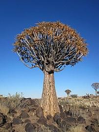 Un arbre aux carquois, plante placée sur la liste des dix espèces les plus affectées par le changement climatique. (définition réelle 2448×3264)