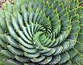 Aloe polyphylla spiral.jpg