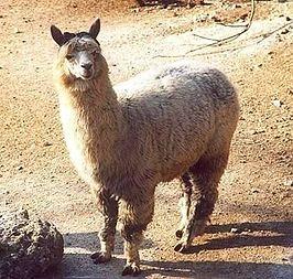 Kleine soort lama