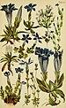 Alpenflora; die verbreitetsten Alpenpflanzen von Bayern, Österreich und der Schweiz (1922) (18109461725).jpg