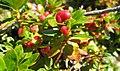 Alpenrosen-Apfel.jpg
