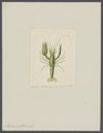 Alpheus lottini - - Print - Iconographia Zoologica - Special Collections University of Amsterdam - UBAINV0274 097 06 0003.tif