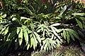 Alpinia speciosa 3zz.jpg