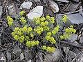 Alyssum tortuosum 1.jpg