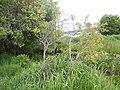 Amelancheir alnifolia - Saskatoon serviceberry - Flickr - Matt Lavin (3).jpg