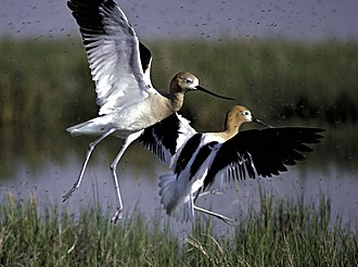 Great Salt Lake - American avocets at Bear River Migratory Bird Refuge