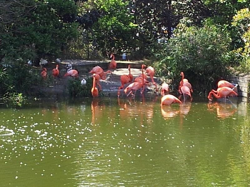 File:American Flamingos (Phoenicopterus ruper) at Jacksonville Zoo.jpg