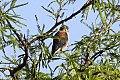 American Kestrel (Falco sparverius) (8077564221).jpg