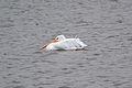 American White Pelican (Pelecanus erythrorhynchos) (15293163864).jpg