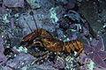 American lobster, Homarus americanus in Newfoundland, Canada (21173791512).jpg