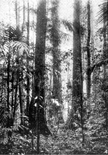 Americana 1920 Tropical Forest Products - Lauan or Dipterocarp forest.jpg