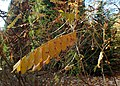 Amorpha californica kz02.jpg