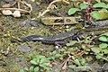 Amphibian-frog (34748863764).jpg