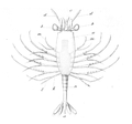 Amphionides reynaudii larvae.png