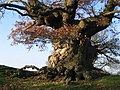 Ancient Oak Tree, Fowlet Farm, Hollybush - geograph.org.uk - 20527.jpg
