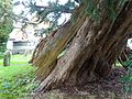 Ancient yew Rotherfield TP53.jpg