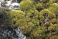 Andreaea rupestris (b, 150028-481738) 3756.JPG