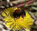 Andrena (Andrena) clarkella (female) - Flickr - S. Rae.jpg
