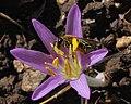Andrena on Colchicum stevenii 1.JPG