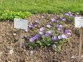 Anemone blanda4.jpg