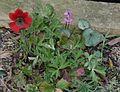 Anemone fulgens - Flickr - peganum (3).jpg