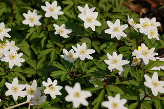 <i>Anemone nemorosa</i> species of plant